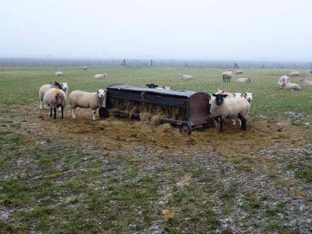 Sheep and hayrack at Sandbank Farm