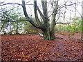TQ4529 : Beech trees near Nutley Windmill by Marathon