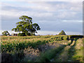 SJ5142 : Maize field and bridleway west of Whitchurch, Shropshire by Roger  Kidd