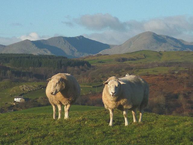 Sheep above Colton