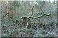 SE0754 : Tangle of boughs, Wandsworth Wood by Derek Harper