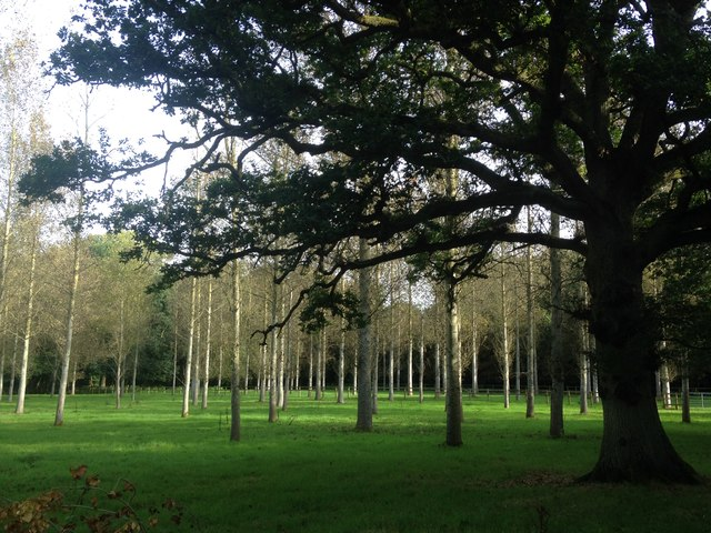 Poplar plantation near Folly Bridge