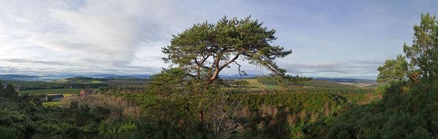 Scots Pine in the Black Isle landscape - a panorama