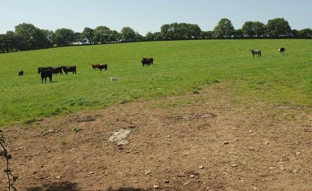 Cattle near Tawna Downs