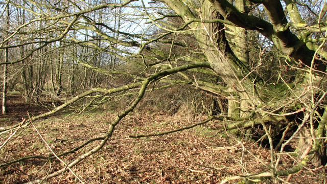 Trees beside a drainage ditch on Low Common