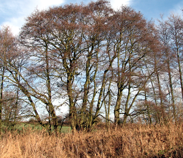 A stand of alders