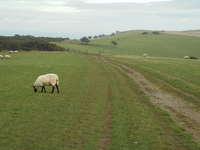 Sheep on the South Downs, near Ditchling Down