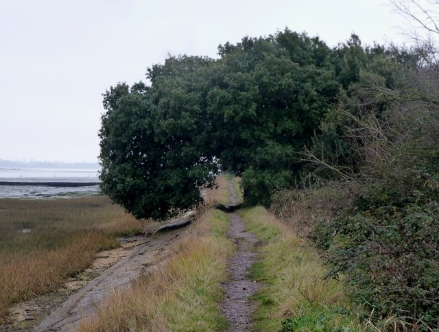 Thorney Island - Tree overhanging coastal footpath