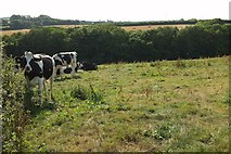 SX0366 : Cattle, Nanstallon by Derek Harper