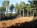 TG4600 : Dead bracken in Fritton Wood by Evelyn Simak