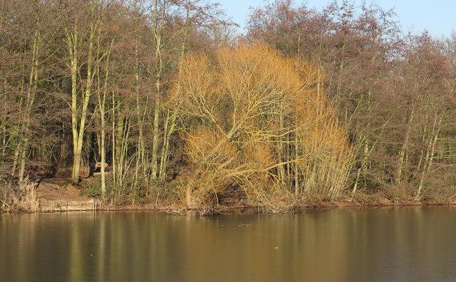 Winter sun on willow, over frozen water, Belhus Woods Country Park