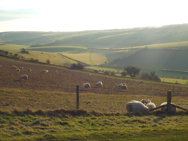 Sheep grazing on the South Downs, near Saddlescombe