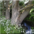 SP3879 : Poplars and Cow Parsley by the River Sowe, Walsgrave, east Coventry by Robin Stott