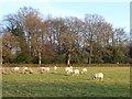 TQ4260 : Sheep in a field by Marathon