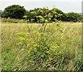 TQ3208 : Wild parsnip in Brighton Wild Park by Patrick Roper