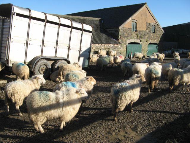 Farmyard with sheep, Llindir