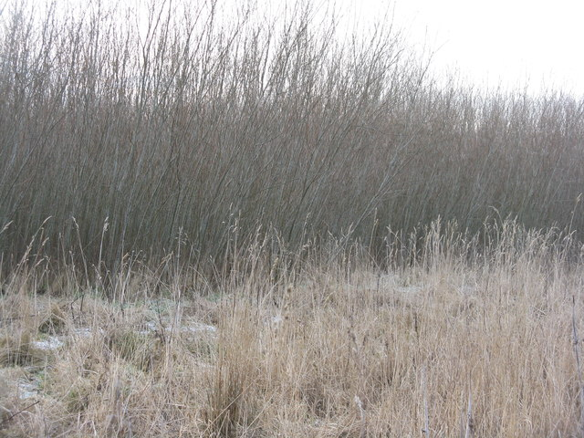 Willow coppice