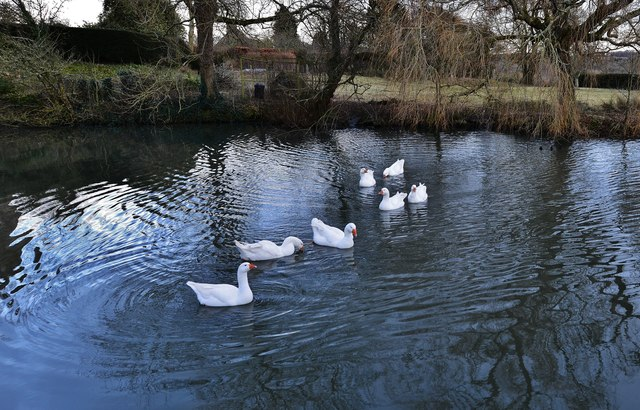 """Penhurst's friendly geese 4: """"Have they or haven't they got any food for us?"""""""