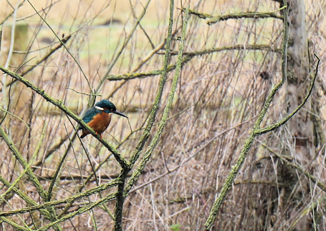 Kingfisher above the River Lark