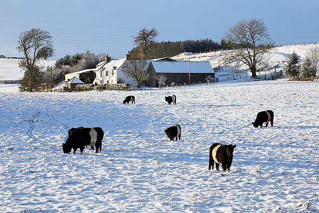Belted Galloway cattle at Bowdenmoor Farm