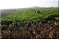 ST6820 : Outwintering Cattle near Henstridge by Nigel Mykura