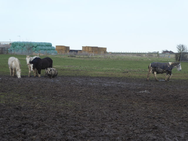 Pig and horses at Swanley Farm