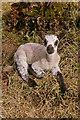 SO1969 : Lamb by Ian Capper