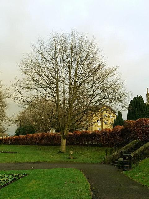Ilkley - the Jubilee Tree