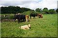 ST7763 : Cattle on Claverton Down by Bill Boaden