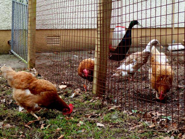 Free range hens, Mullaghmore