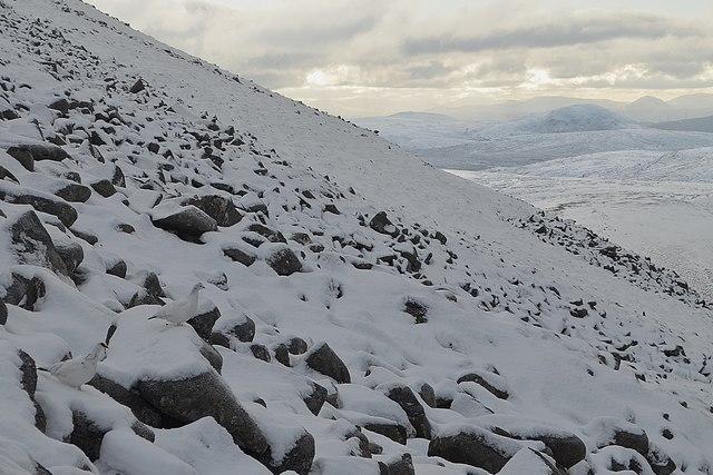 Ptarmigan in Winter Coats