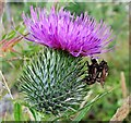 TQ7920 : Flies on thistle, Brede High Woods by Patrick Roper