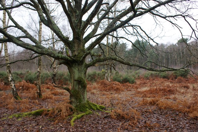 Young oak tree, Wisley Common