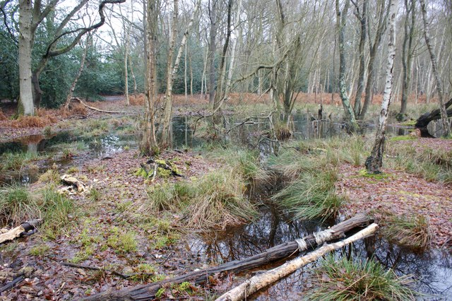 Wet flush in birch woodland, Wisley Common