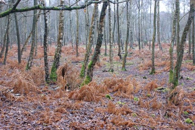 Birch woodland, Wisley Common
