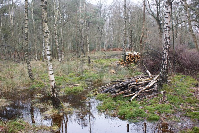 Water-logged birch woodland, Wisley Common