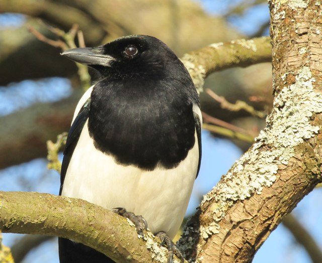 Wisley - Magpie
