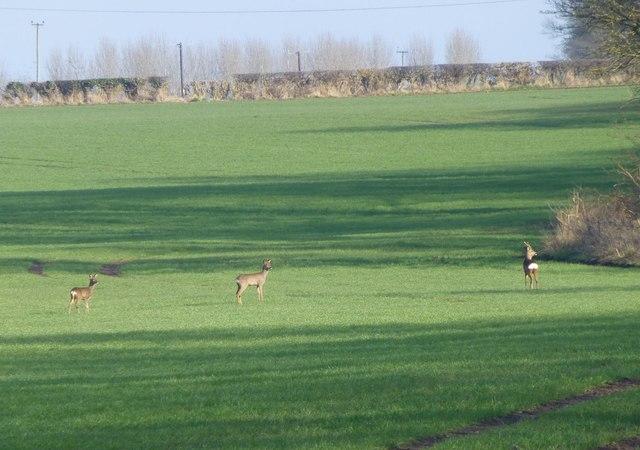 Roe deer in the cereal crop