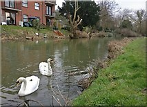 SK5802 : Swans on the River Soar by Mat Fascione