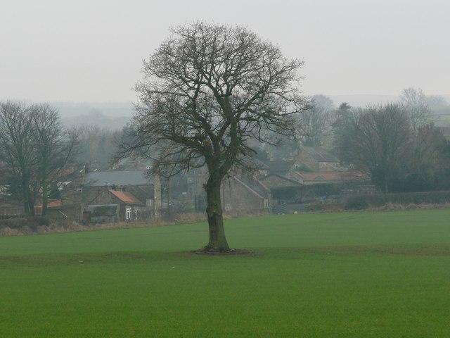 Tree on a former field boundary, north of Dalton