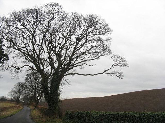Sycamores on Cockairnie Road