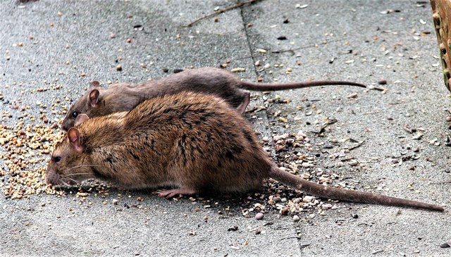 Rats eating bird food, Churchland Lane