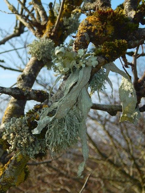 A lichen - Ramalina fraxinea
