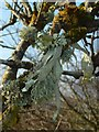 NS4179 : A lichen - Ramalina fraxinea by Lairich Rig