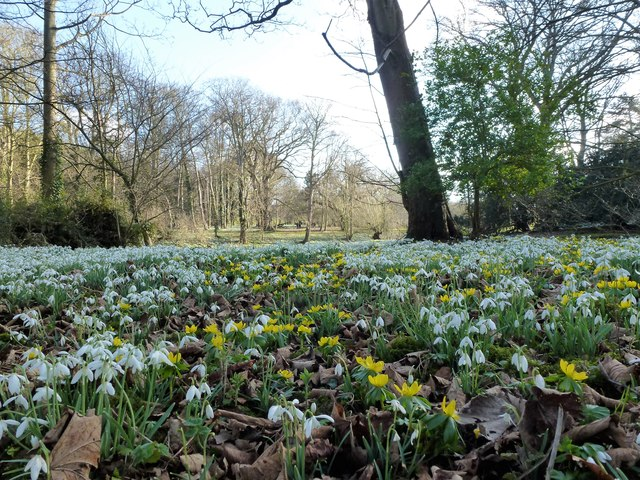 Snowdrops and aconites at Walsingham Abbey, Norfolk