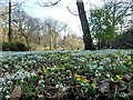 TF9336 : Snowdrops and aconites at Walsingham Abbey, Norfolk by Richard Humphrey