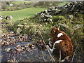 SD4193 : Injured calf in beck by Karl and Ali
