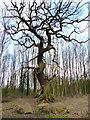 SK5508 : The 'Great Oak' by Mat Fascione