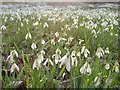 NC8500 : A Carpet of Snowdrops by Andrew Tryon