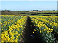 SW7731 : Daffodil field at Tresooth Farm by Rod Allday